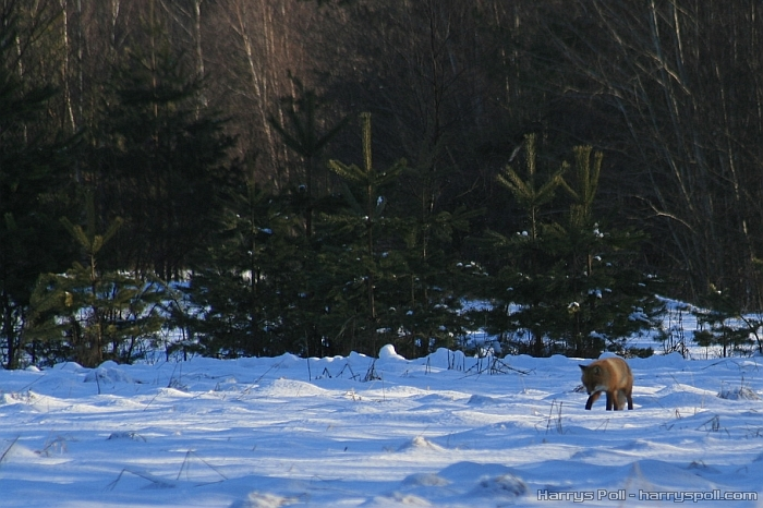Rebane (lumi talv rebane vulpes vulpes snow winter red fox looking for food)